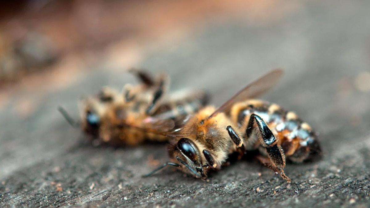 Sognando api morte