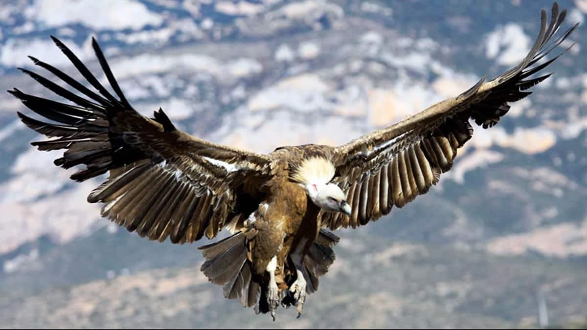 Sognando di avvoltoi che volano