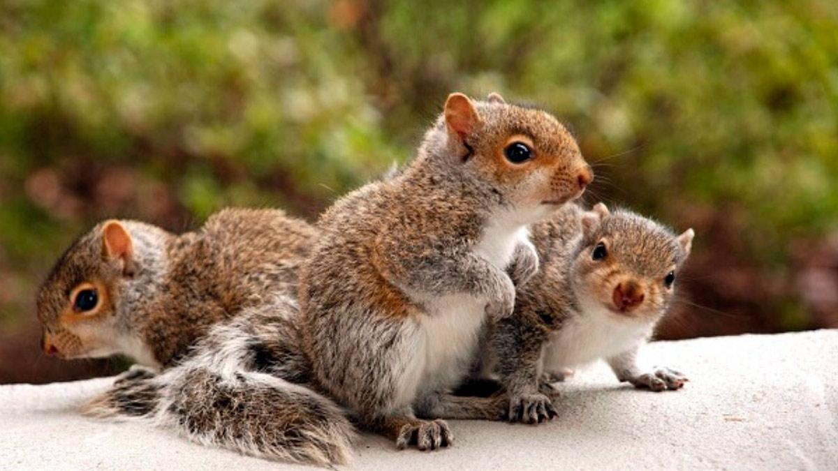 Sognando i cuccioli di scoiattolo