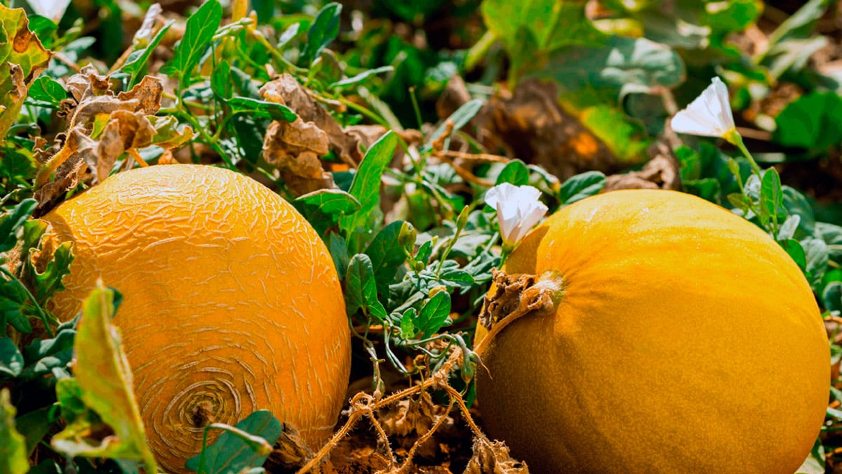 Sognando i frutti gialli