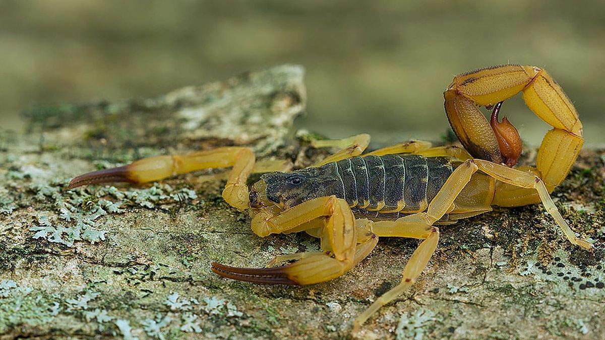 Sognando uno scorpione o uno scorpione giallo