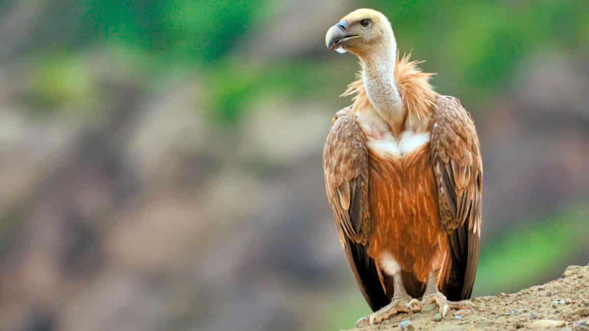sognare gli avvoltoi