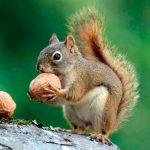 sognare gli scoiattoli
