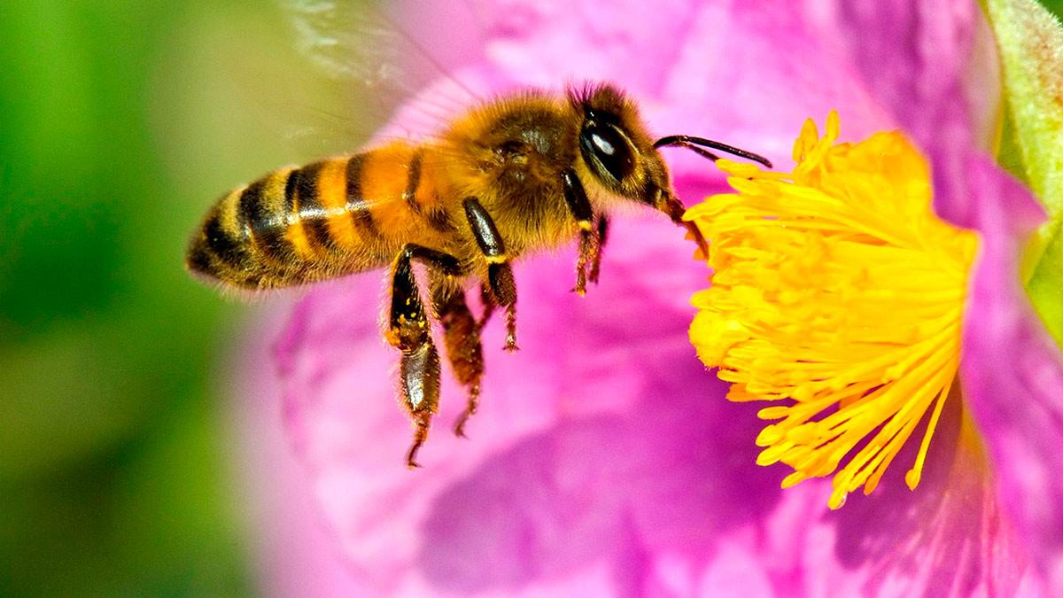 sognare le api