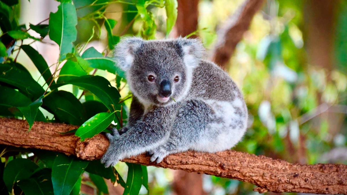 sognare koala