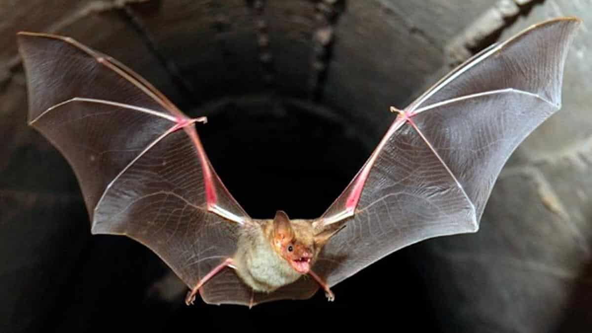 sognare i pipistrelli