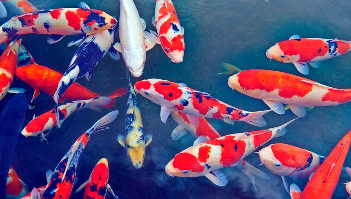 sognare il pesce koi
