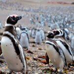 sognare il pinguino