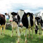 sognare le mucche