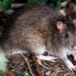 sognare ratti o topi