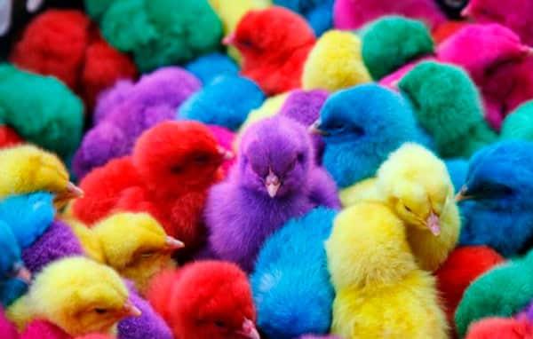 pulcini di colori